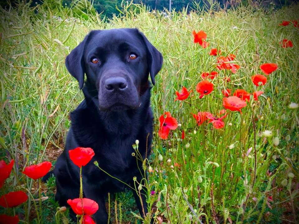 Haylee (*2019) - Labrador Retriever